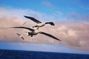 Albatrosse auf dem Meer können helfen, illegalen Fischfang zu orten