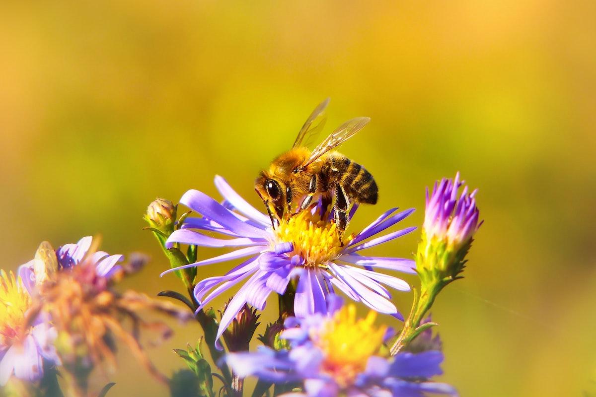 Für Bienen: Felder mit Streifen statt Monokulturen
