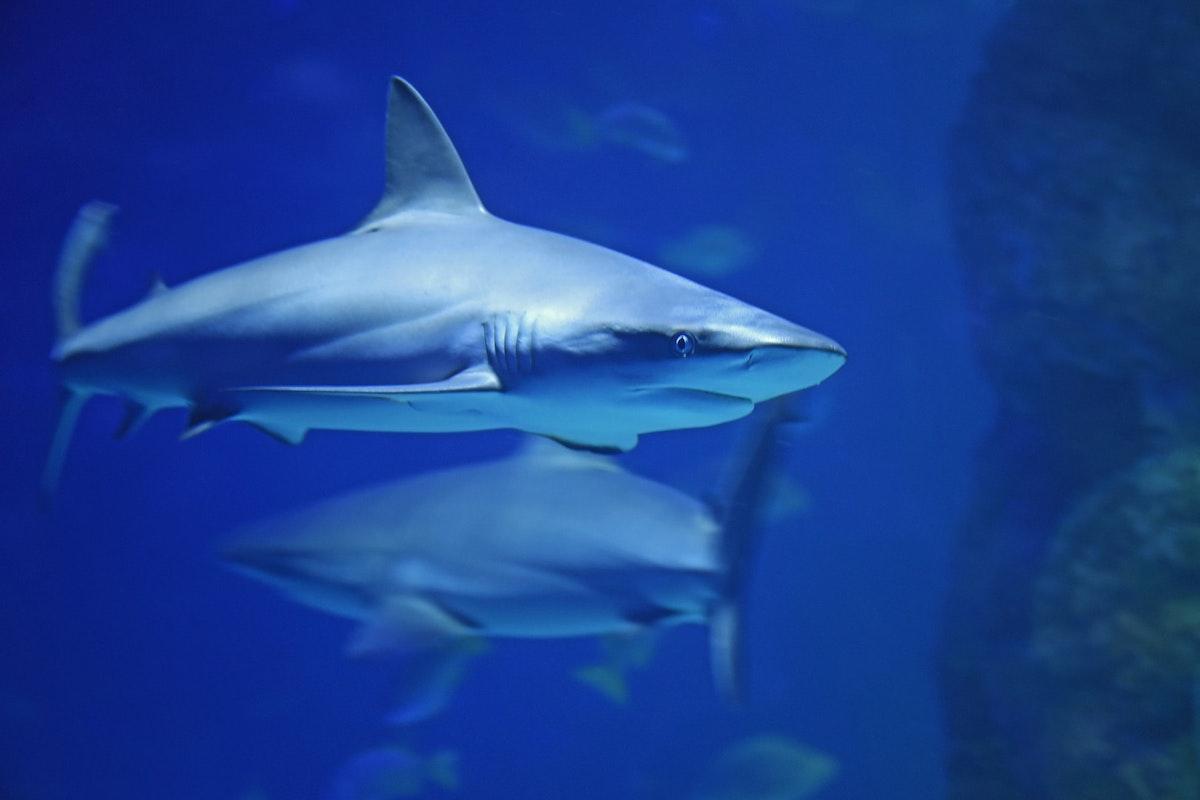Hai im Meer, unter Wasser.