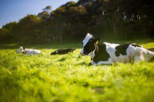 Kuh auf Wiese, Gras, Ernährung, Methan-Ausstoß, Algen. Foto: Andy Kelly / Unsplash (CC0)