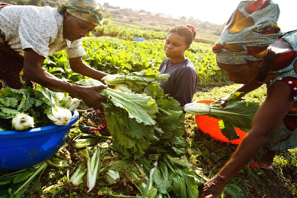 Ernte, Feld, Afrika, Frauen Frühwarnsystem für Missernte