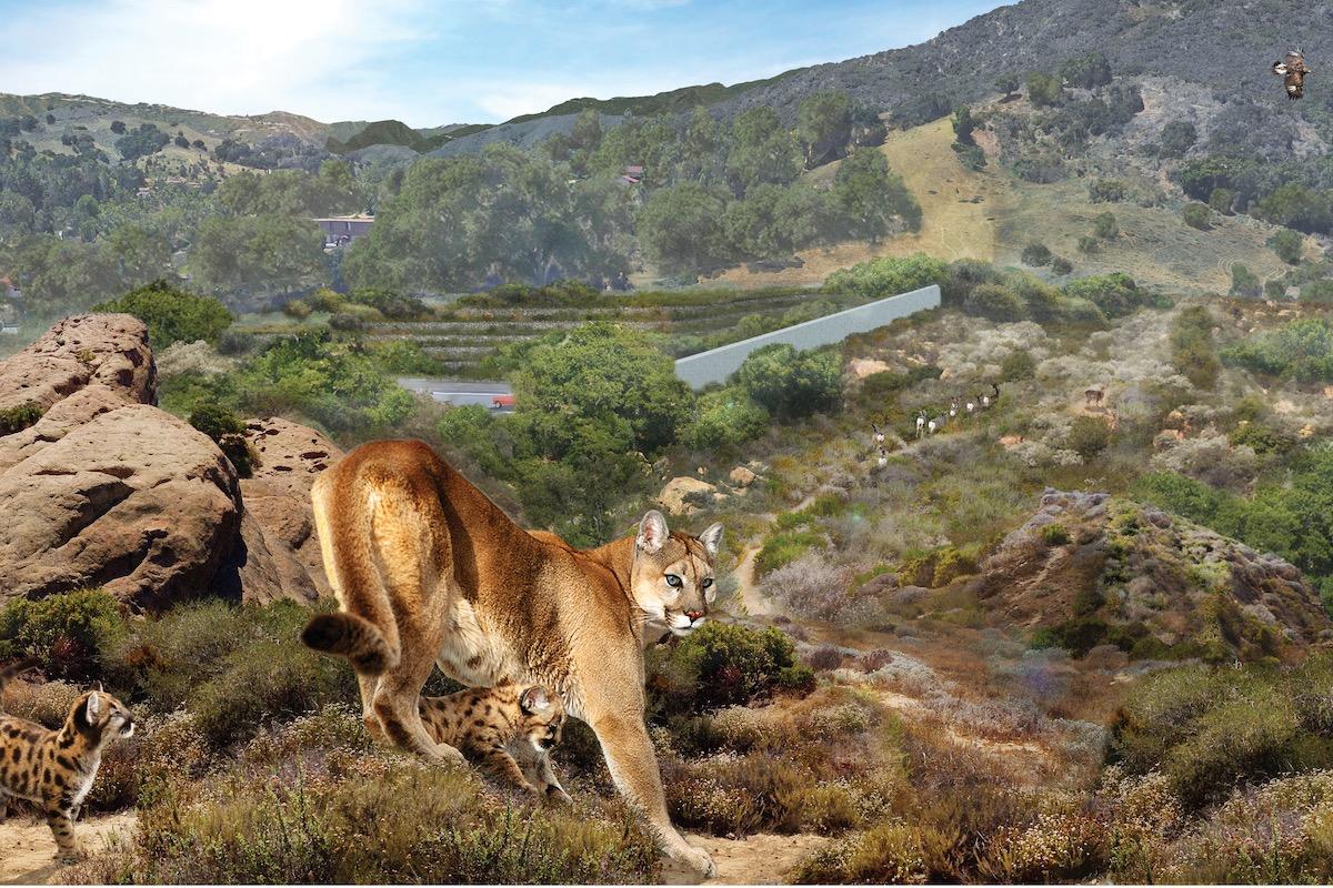 weltgrößte Wildbrücke bei Los Angeles, für Pumas