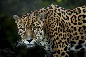 Jaguar, Argentinien, Auswilderung