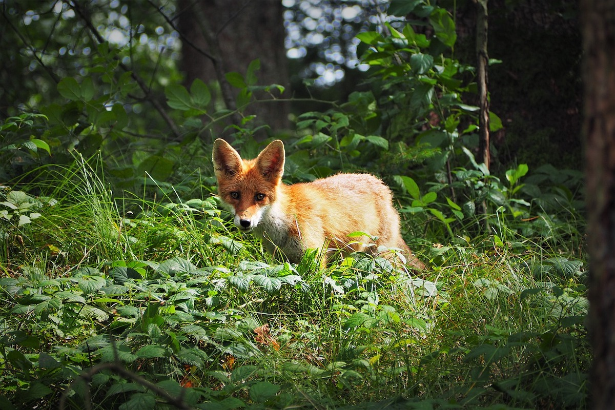 Fuchs, Wald, Wildnis