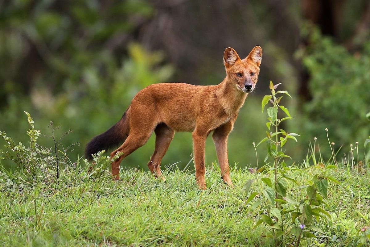 Asiatischer Wildhund, Rothund