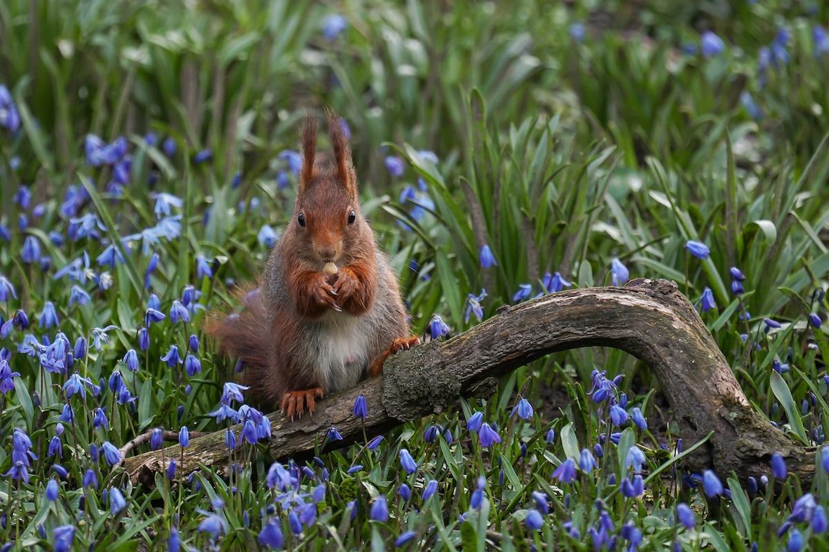 Eichhörnchen, Blumen