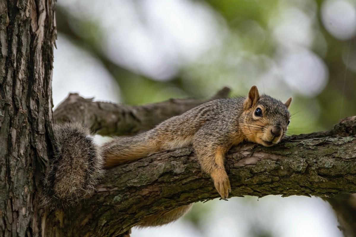 Eichhörnchen, Baum, liegend