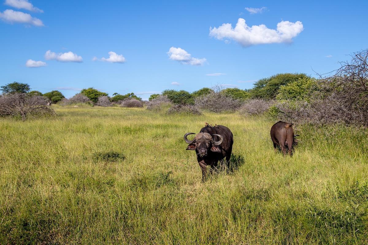 Wasserbüffel, Natur, Wiese