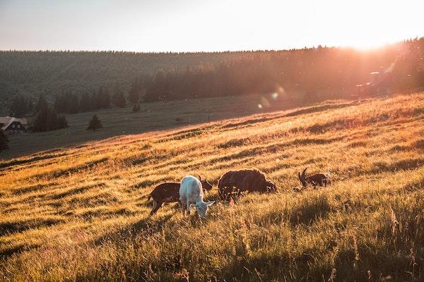 Ziegen, Gras, Sommer
