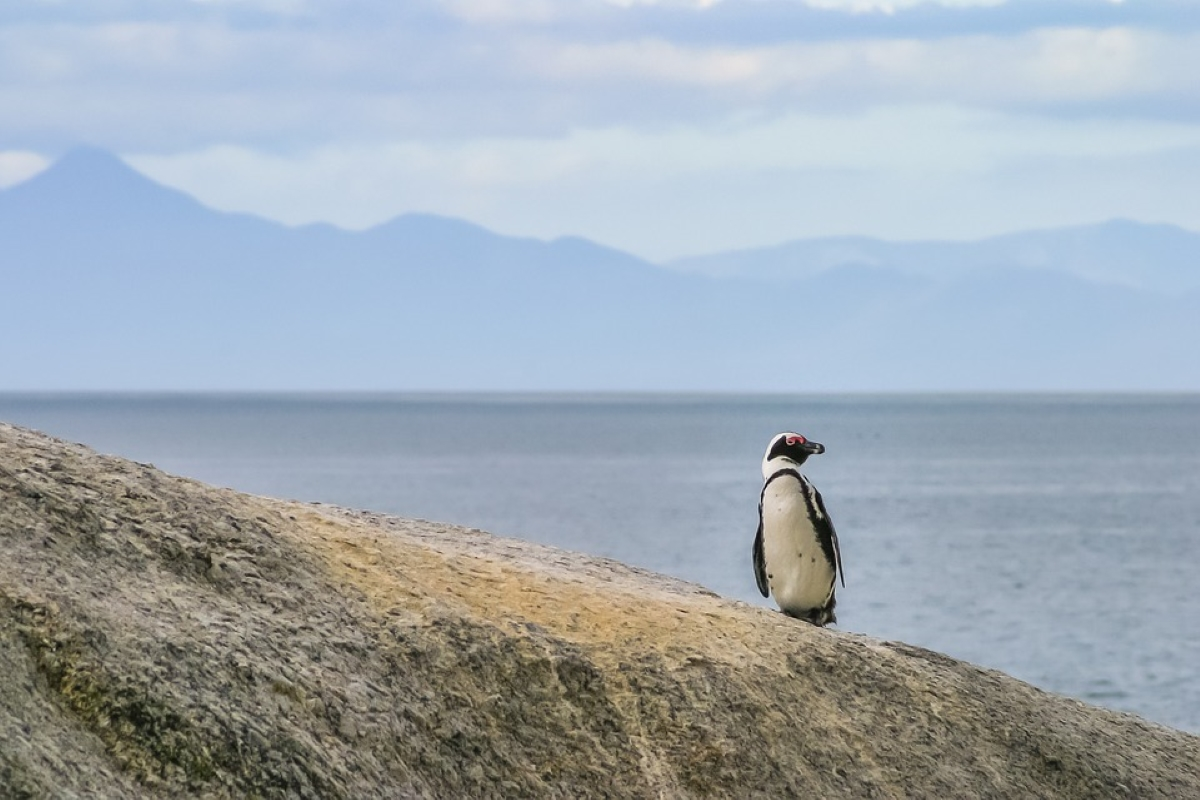 african_penguin-south_africa-conservation-concrete-ocean