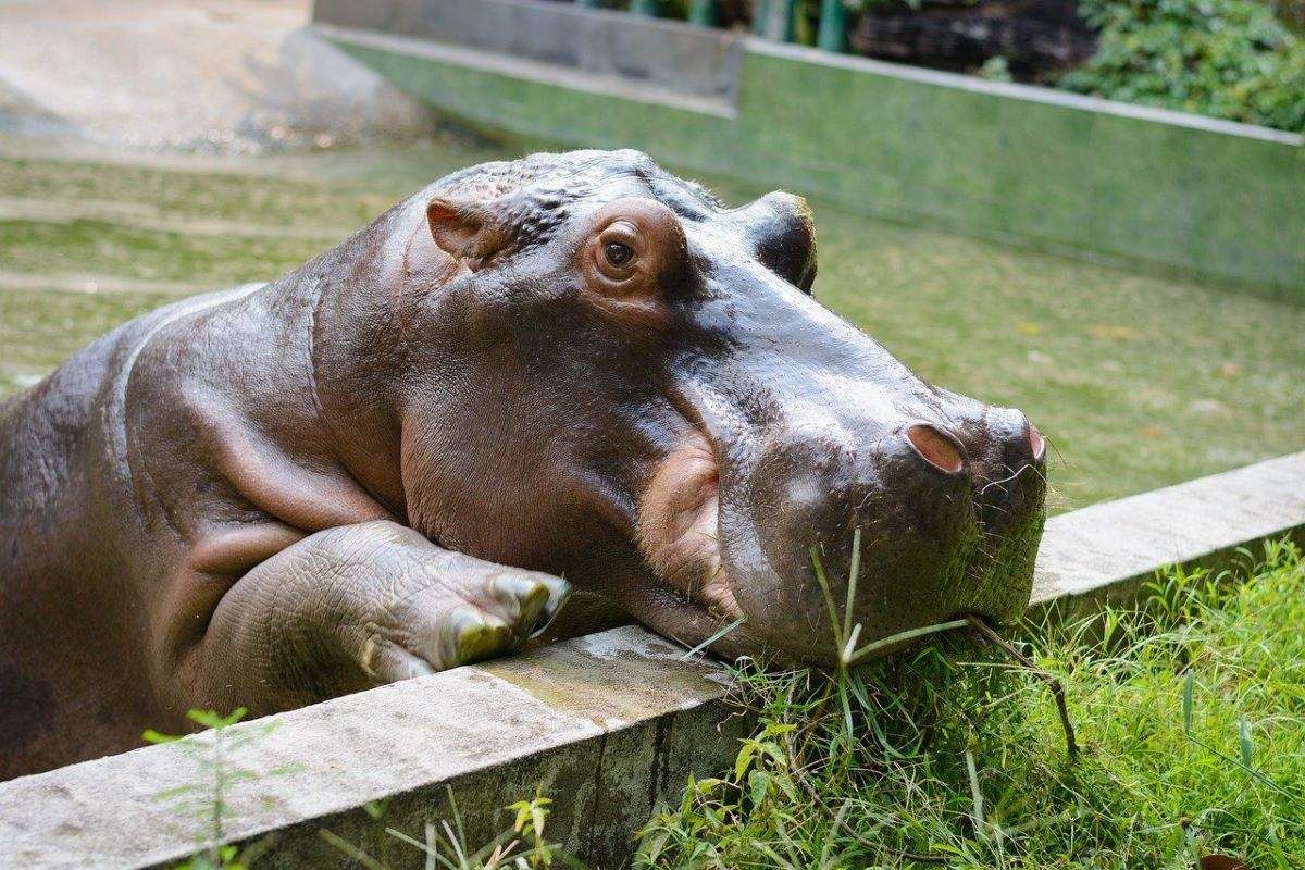 hippo-colombia-invasive_species