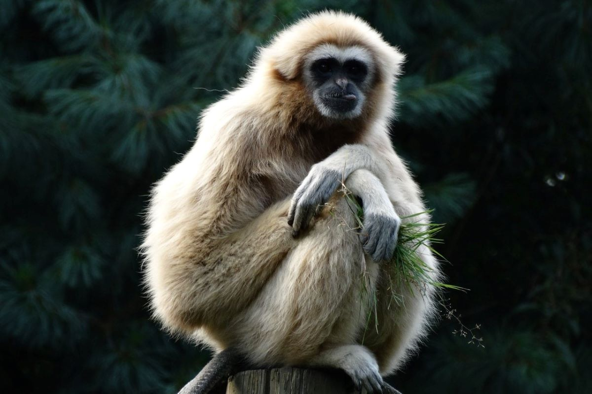 hainan_gibbon-extinction-hong_kong