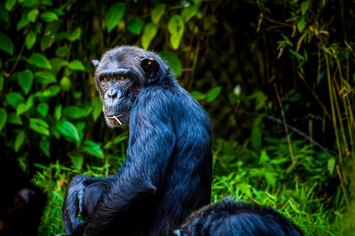 3 million trees are planted for chimpanzees in Uganda, reforestation