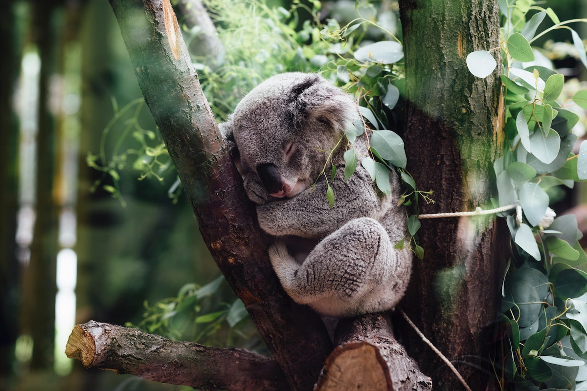 Koala, sanctuaries, Australia, gardens