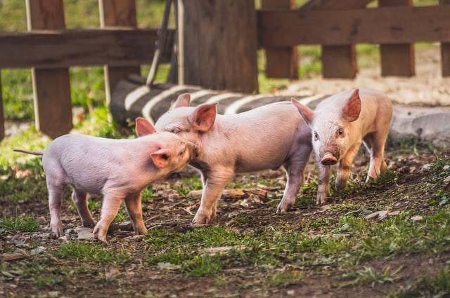 Pigs, piglets